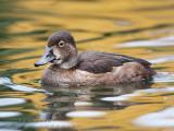 Fuligule à collier (fem) / Ring-necked Duck (fem)