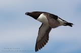 Petit Pingouin  /  Razorbill