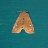 9933 Eupsilia vinulenta Straight-Toothed Sallow Moth Athol Ma 3-11-2011.JPG