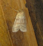 9930 – Pyreferra citrombra – Citrine Sallow Moth 4-4-2011 Athol Ma.JPG