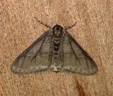 6658 E – Phigalia titea – Half-wing Moth  Athol Ma 4-4-2011.JPG