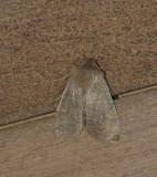 9936 – Eupsilia morrisoni – Morrisons Sallow Moth 4-8-2011Athol Ma.JPG Accepted by BAMONA