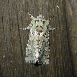 10007 – Feralia major – Major Sallow Moth4-11-2011 Athol Ma.JPG Accepted by BAMONA