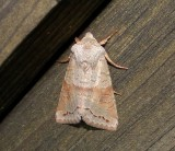10490 – Orthosia revicta – Subdued Quaker Moth 1-11-2011 Athol Ma.JPG Accepted by BAMONA