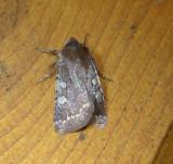 10994 – Cerastis tenebrifera – Reddish Speckled Dart Moth 4-9-2011 Athol Ma .JPG Accepted by BAMONA