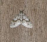 7637 B – Cladara limitaria – Mottled Gray Carpet Moth 4-12-2011.JPG Accepted by BAMONA