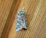 10008 – Feralia comstocki – Comstocks Sallow Moth 4-18-2011 Athol Ma.JPG Accepted by BAMONA