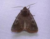 10994 – Cerastis tenebrifera – Reddish Speckled Dart Moth a 4-18-2011 Athol Ma.JPG