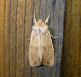 9886 – Lithophane patefacta – Dimorphic Pinion Moth 4-20-2011 Athol Ma.JPG