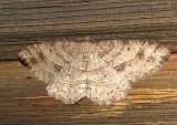 6621 E – Melanolophia signataria – Signate Melanolophia Moth4-26-2011 Athol Ma.JPG