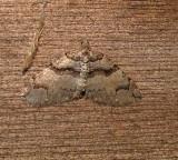 7329 E – Anticlea vasiliata – Variable Carpet Moth 5-2-2011 athol ma.JPG