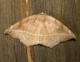 6966 E – Eutrapela clemataria – Curve-toothed Geometer Moth 5-2-2011 Athol Ma.JPG
