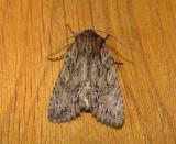 10521 – Morrisonia confusa – Confused Woodgrain Moth 5-2-2011 Athol Ma.JPG