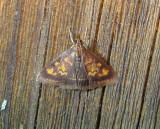 5071 – Pyrausta acrionalis – Mint-loving Pyrausta Moth5-13-2011  Athol Ma.JPG