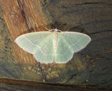 7071 E – Chlorochlamys chloroleucaria – Blackberry Looper Moth 5-19-2011 Athol Ma.JPG