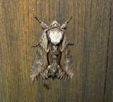 9578 - Hyppa xylinoides – Common Hyppa Moth 5-19-2011 Athol Ma.JPG