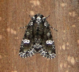 10292 – Melanchra adjuncta – Hitched Arches Moth  5-19-2011 Athol Ma.JPG