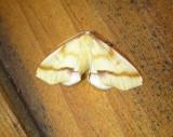 6840 E – Plagodis serinaria – Lemon Plagodis Moth 5-20-2011 Athol Ma.JPG