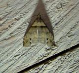 8393 – Lascoria ambigualis – Ambiguous Moth 5-21-2011 Athol Ma.JPG