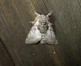 9184 – Colocasia flavicornis – Yellowhorn Moth 5-24-2011 Athol Ma 1.JPG