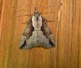 8442 – Hypena baltimoralis – Baltimore Bomolocha Moth 5-25-2011 Athol Ma.JPG