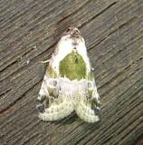 9049 – Maliattha synochitis – Black-dotted Lithacodia Moth 5-26-2011 Athol Ma.JPG