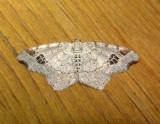 6326 B – Macaria aemulataria – Common Angle Moth 5-28-2011 Athol Ma.JPG