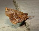 6817 E – Selenia alciphearia – Northern Thorn Moth 5-28-2011 Athol Ma.JPG