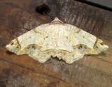 6838 B – Probole amicaria – Friendly Probole Moth 5-28-2011 Athol Ma.JPG