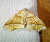 6844 E – Plagodis alcoolaria – Hollow-spotted Plagodis Moth5-27-2011 Athol Ma.JPG
