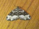 7390 E – Xanthorhoe lacustrata – Toothed Brown Carpet Moth 5-25-2011 Athol Ma.JPG