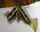7893 – Gallium Sphinx Moth – Hyles gallii 5-28-2011 Athol Ma 3.JPG