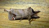 7895 – Clostera albosigma – Sigmoid Prominent Moth 5-28-2011 Athol Ma.JPG