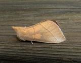 7915 – Nadata gibbosa – White-dotted Prominent Moth 5-28-2011 Athol Ma 1.JPG