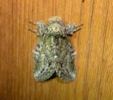 7975 – Macrurocampa marthesia – Mottled Prominent Moth 5-28-2011.JPG