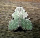 9065 – Leuconycta diphteroides – Green Leuconycta Moth 5-28-2011 Athol Ma.JPG