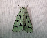 9281 – Agriopodes fallax – Green Marvel Moth 5-28-2011 Athol Ma.JPG