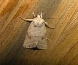10490 – Orthosia revicta – Subdued Quaker Moth 5-19-2011 Athol.JPG