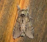 7917 – Hyperaeschra georgica – Georgian Prominent Moth 6-2-2011 Athol Ma.JPG