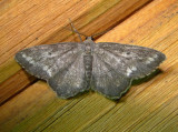 6654 E – Hypagyrtis unipunctata – One-spotted Variant Moth 5-30-2011 Athol Ma.JPG
