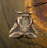 6235 -- Lettered Habrosyne Moth -- Habrosyne scripta 6-2-2011.JPG