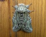 7975 – Macrurocampa marthesia – Mottled Prominent Moth 5-28-2011 Athol Ma.JPG