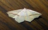 6963 E – Tetracis crocallata – Yellow Slant-line Moth 6-5-2011 Athol Ma.JPG