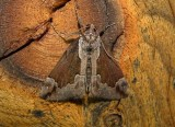 8442 – Hypena baltimoralis – Baltimore Bomolocha Moth 6-6-2011 Athol Ma.JPG