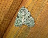 9065 – Leuconycta diphteroides – Green Leuconycta Moth 6-5-2011 Athol Ma.JPG