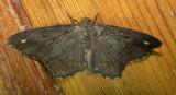 6655 E – Hypagyrtis esther – Esther Moth 6-6-2011 Athol Ma.JPG