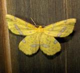 6740 E – Xanthotype urticaria – False Crocus Geometer Moth 6-6-2011 Athol Ma.JPG