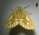 6864 E – Caripeta piniata – Northern Pine Looper Moth 6-7-2011.JPG