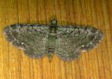 7625 E – Pasiphila rectangulata – Green Pug Moth 6-7-2011 Athol Ma 5.JPG