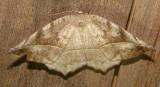 6966 E – Eutrapela clemataria – Curve-toothed Geometer Moth 6-7-2011 Athol Ma.JPG